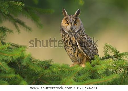 Young long-eared owl (Asio otus) Stock photo © Ximinez