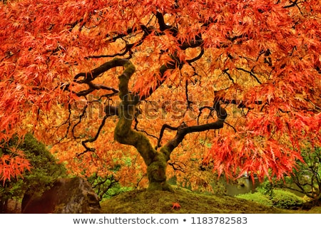 beautiful red japanese maple tree leaves stock photo © julietphotography