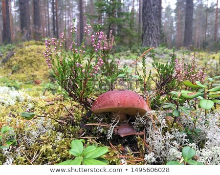 Brown Cap Boletus, Leafs and Cranberry Stock photo © zhekos