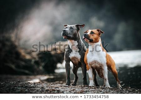 Staffordshire terrier kutya kutyakölyök nagy ajándék doboz néz Stock fotó © milsiart