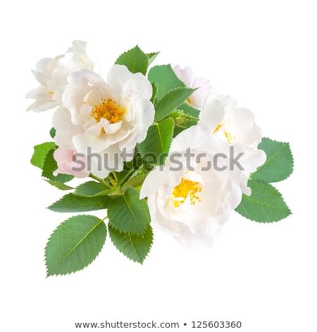 close up of a dog rose flower stock photo © digoarpi