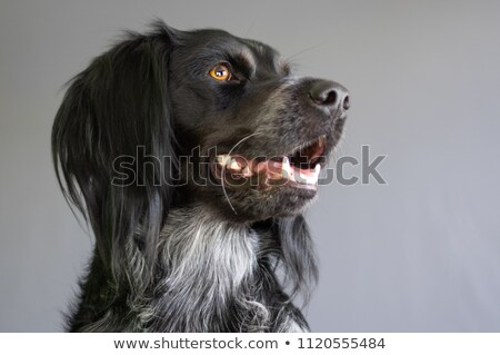French Brittany Spaniel Stock photo © sframe