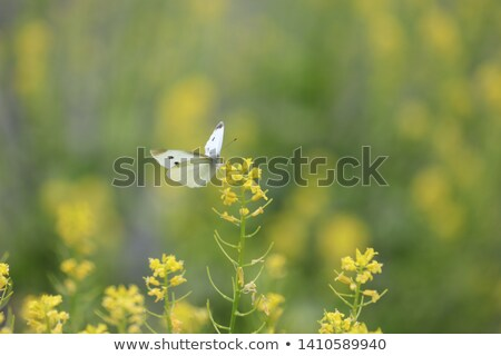 Cabbage Butterfly on Flower Stock photo © rhamm