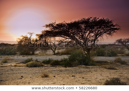 Flame acacia tree stock photo © tboyajiev