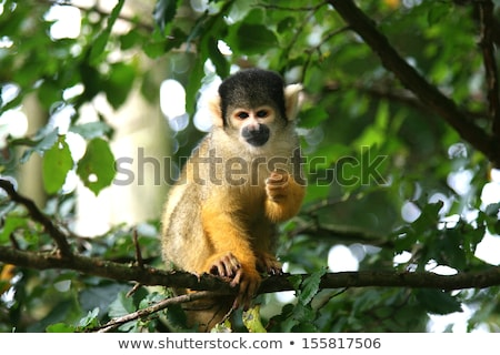 Squirrel Monkey (Saimiri boliviensis)  stock photo © michaklootwijk