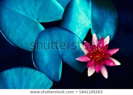 Różowy wody lilia niebieski kwiat charakter Zdjęcia stock © tungphoto