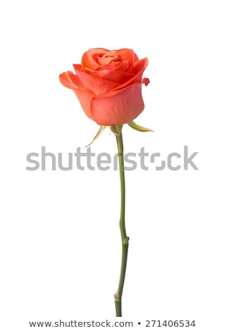 close up image of single orange rose stock photo © wjarek