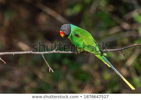parakeet sits on a branch of the tree Stock photo © meinzahn