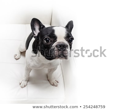 French bulldog looking down portrait in the white studio