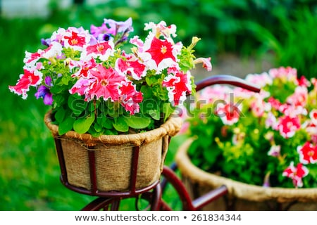 Old photo petunia flower Stock photo © IMaster