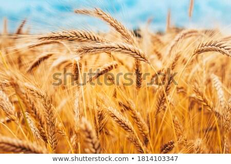 ушки зрелый пшеницы небе продовольствие Сток-фото © fogen
