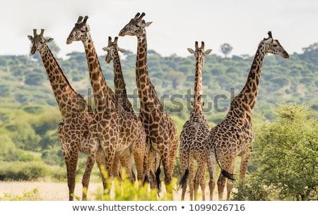 csoport · zsiráfok · áll · fű · park · Botswana - stock fotó © simoneeman