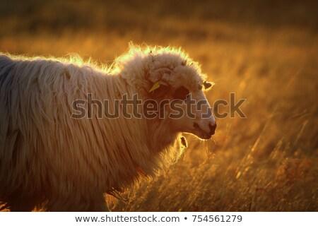 ovelha · nascer · do · sol · nebuloso · manhã · nuvens · grama - foto stock © taviphoto