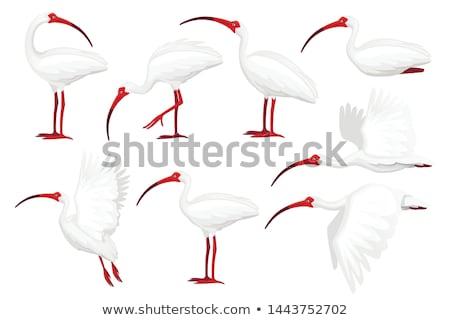 White Ibis Stock photo © devon