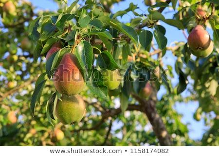 Pear trees Stock photo © raywoo