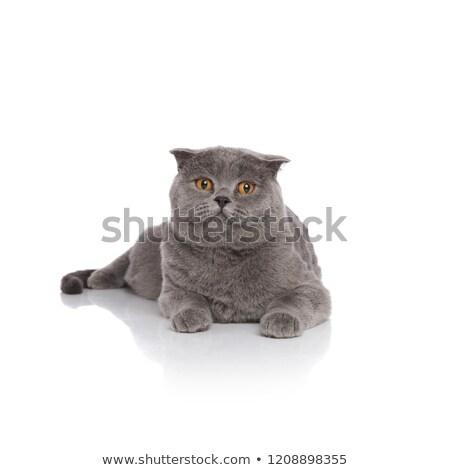 adorable grey scotish fold resting Stock photo © feedough
