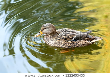Ducks swimming in the city park lake. Beautiful sunny autumn day Stock photo © artsvitlyna