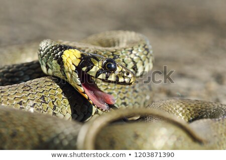 Stock foto: Detail Of Grass Snake With Open Mouth