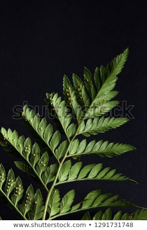 Reverse side of green fern with spores on a black background with copy space. Foliage layout Stock photo © artjazz