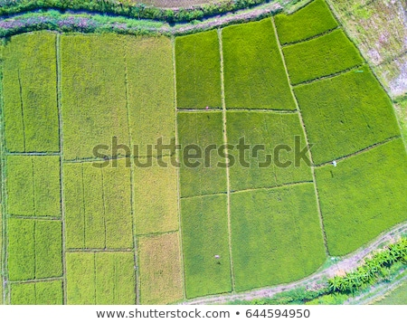 aerial top view photo from flying drone of green rice fields in countryside land with grown plants o stock photo © galitskaya
