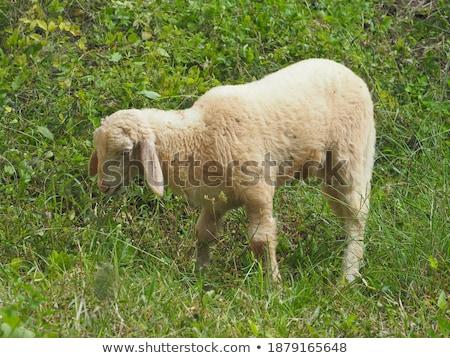 Schapen tuin illustratie familie gras gelukkig Stockfoto © colematt