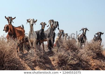 ヤギ · 動物 · かわいい · 白 · 子供 · 草 - ストックフォト © reticent