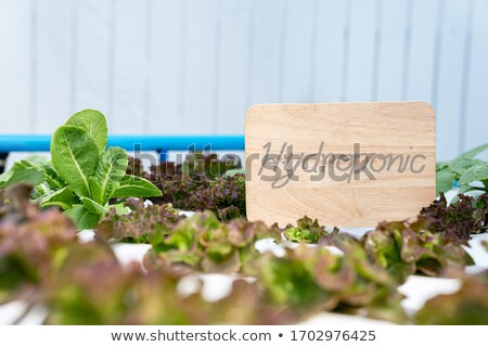 Stock photo: Hydroponic vegetables salad farm. Hydroponics method of growing plants vegetables salad farm, in wat