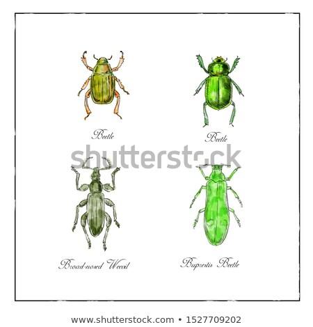Besouro vintage coleção desenho ilustração insetos Foto stock © patrimonio
