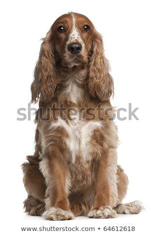 Studio shot of an adorable American Cocker Spaniel Stock photo © vauvau