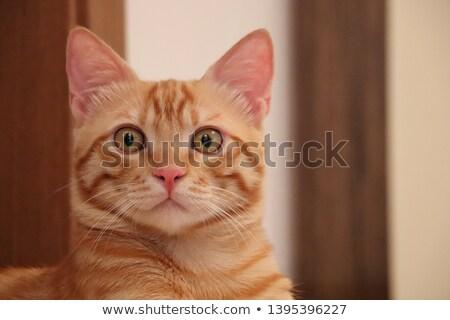 Portrait of a frightened tabby cat Stock photo © vauvau