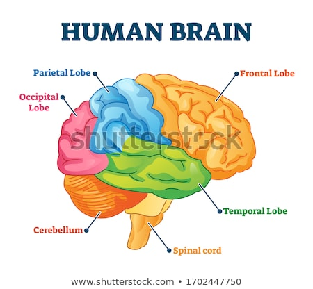 Stock photo: Human brain graph with colorful chart