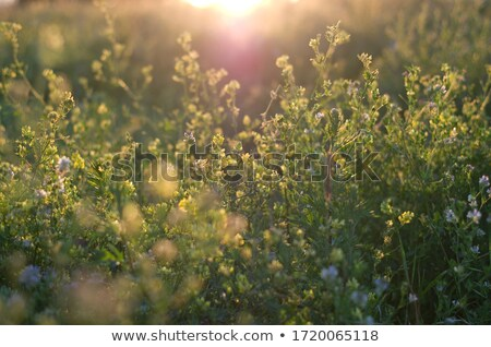 dandelion in peaceful evening stock photo © Ansonstock