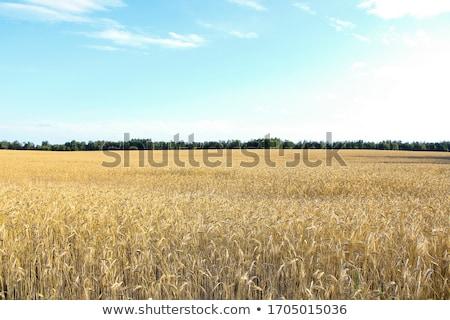 dourado · campo · de · trigo · blue · sky · trigo · pronto · colheita - foto stock © flariv