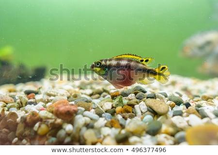 Rainbow Kribensis Fish Stock photo © fouroaks