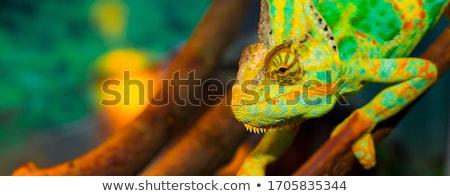 Foto stock: Colorido · lagarto · isolado · branco · verde · azul