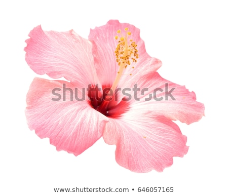 красный · гибискуса · цветок · зеленый · красивой - Сток-фото © imaster