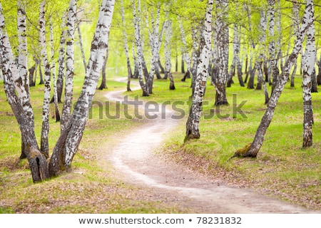 The birch grove in spring Stock photo © Traven