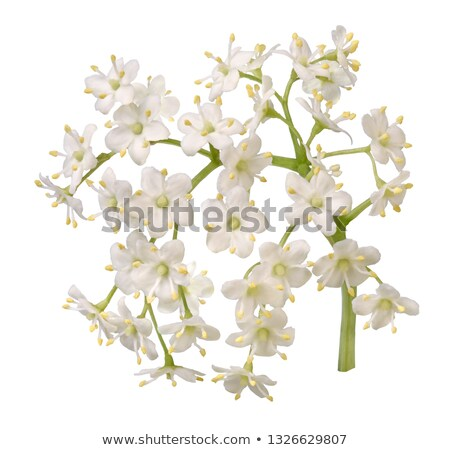 Stock photo: elderberry flowers