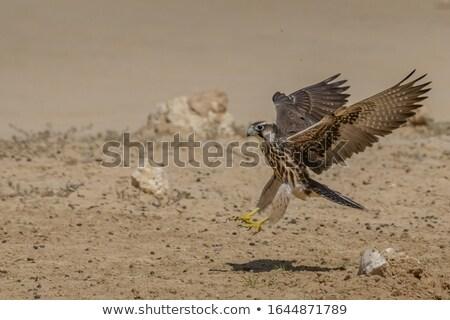 halcón · vuelo · cielo · azul · Sudáfrica · cielo · azul - foto stock © scooperdigital