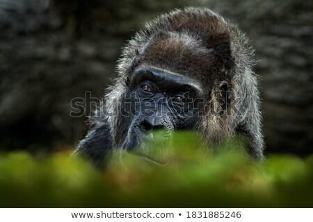 Goryl zielone roślinność górskich Chmura lasu Zdjęcia stock © prill