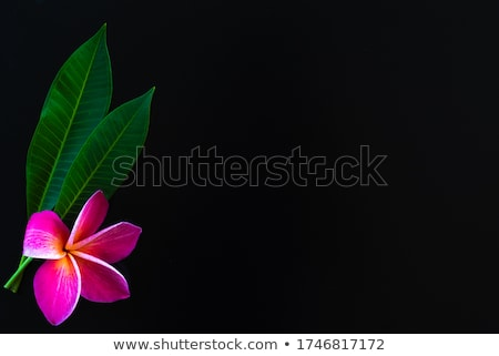 Pink Frangipani With Green Background Stock photo © adamson