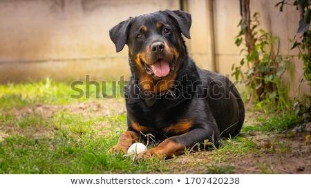 Rottweiler siyah köpek göz Stok fotoğraf © willeecole