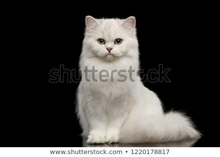 Belo britânico gato branco cara cabelo Foto stock © EwaStudio