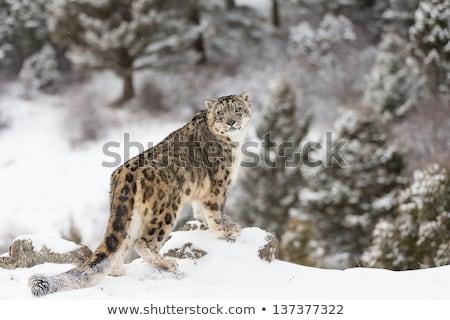 the rare snow leopard stock photo © mariephoto