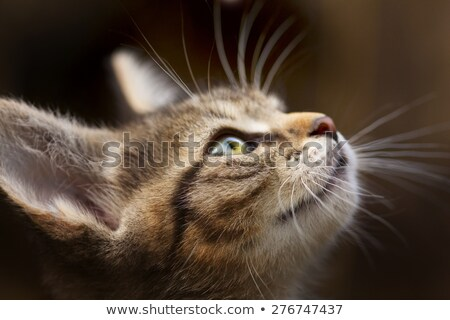 brown striped kitten close up stock photo © ajn