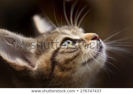 Kahverengi çizgili kedi yavrusu fotoğraf yalıtılmış Stok fotoğraf © ajn