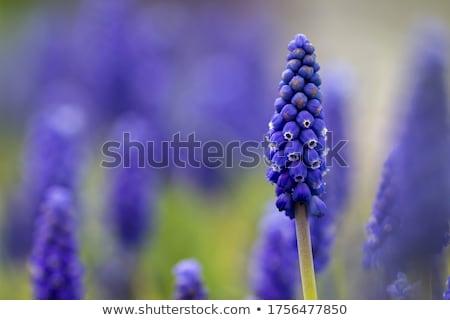 flowers of muscari armeniacum stock photo © tainasohlman