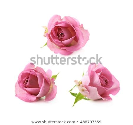three fresh pink roses over white background stock photo © bloodua