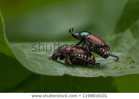 Pair of black beetles, mating behavior Stock photo © michaklootwijk
