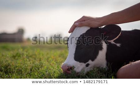 dois · vacas · animal · fazenda - foto stock © jaykayl